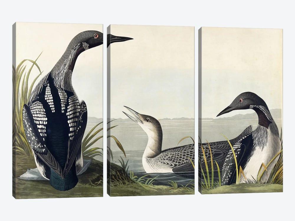 Black-throated Diver  by John James Audubon 3-piece Canvas Art