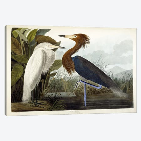 Purple Heron, c.1835  Canvas Print #BMN6085} by John James Audubon Canvas Wall Art