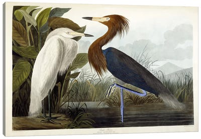 Purple Heron, c.1835 Canvas Art Print