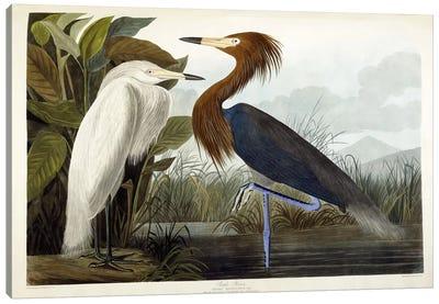 Purple Heron, c.1835  Canvas Art Print