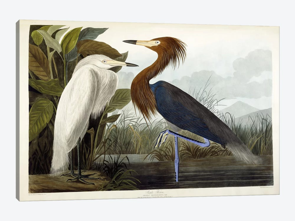 Purple Heron, c.1835  by John James Audubon 1-piece Canvas Wall Art