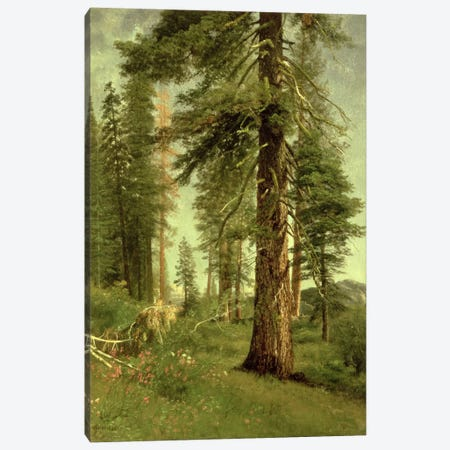 California Redwoods Canvas Print #BMN6530} by Albert Bierstadt Canvas Print