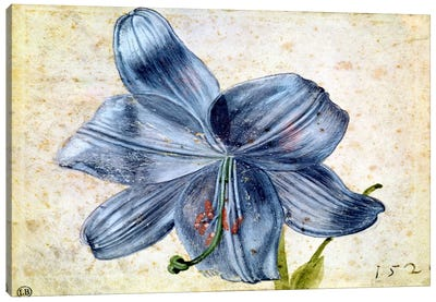 Study Of A Lily, 1526 Canvas Print #BMN6587