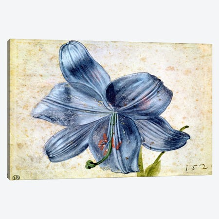 Study Of A Lily, 1526 Canvas Print #BMN6587} by Albrecht Dürer Canvas Print
