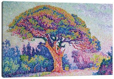 The Pine Tree at St. Tropez, 1909  Canvas Art Print