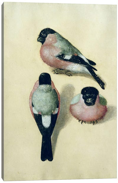 Three Studies Of A Bullfinch Canvas Art Print