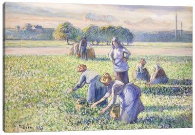 The Harvest Of Peas, 1887 Canvas Art Print