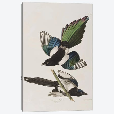 American Magpie Canvas Print #BMN6709} by John James Audubon Canvas Artwork