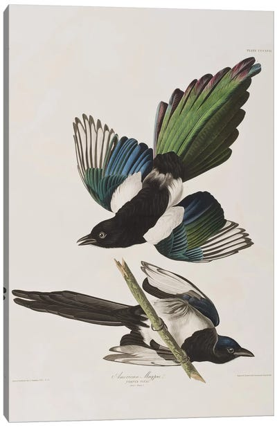 Audubon's Birds Of America Series: American Magpie Canvas Print #BMN6709