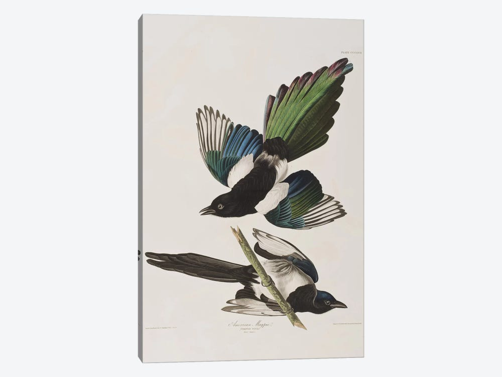 American Magpie by John James Audubon 1-piece Canvas Art Print