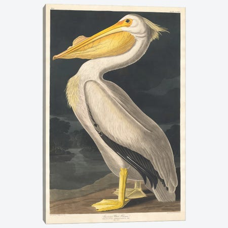 American White Pelican Canvas Print #BMN6710} by John James Audubon Canvas Print