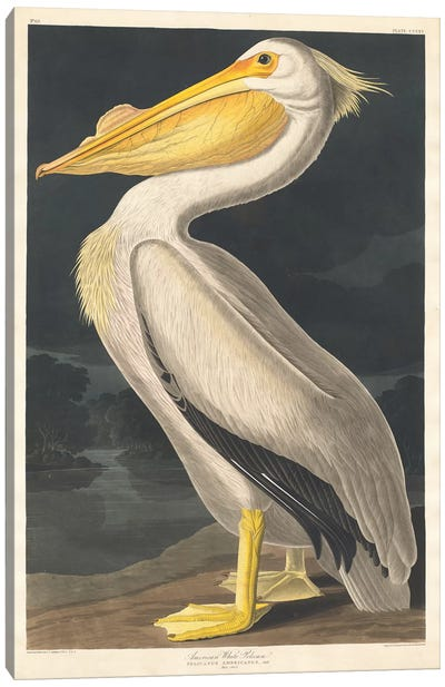American White Pelican Canvas Art Print