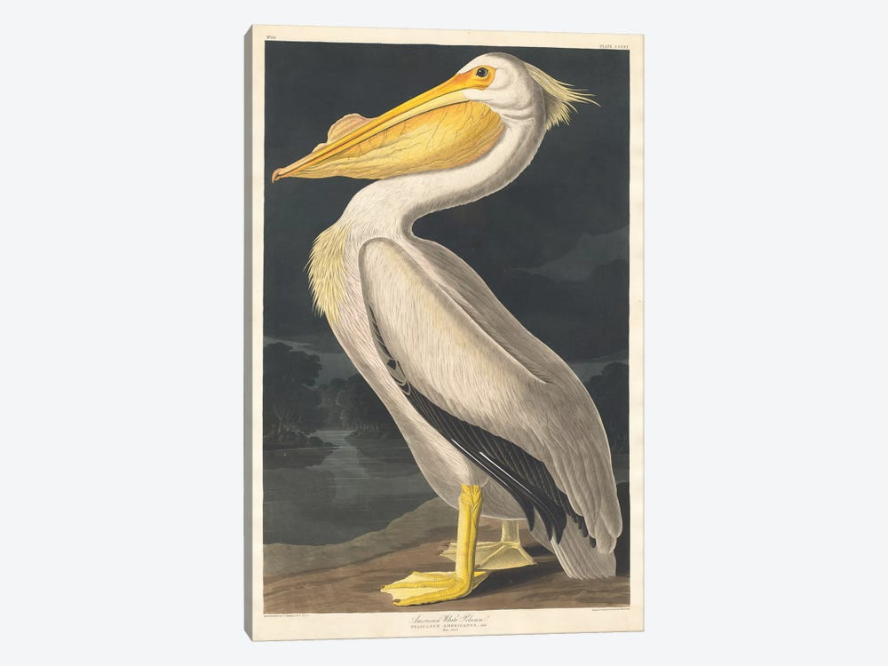 American White Pelican by John James Audubon 1-piece Art Print