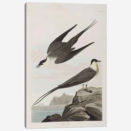 Arctic Jager Canvas Print #BMN6711} by John James Audubon Canvas Art Print
