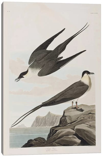 Audubon's Birds Of America Series: Arctic Jager Canvas Print #BMN6711