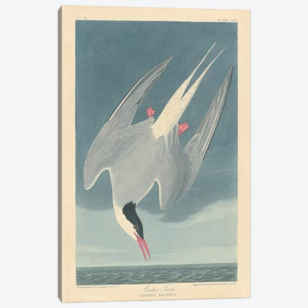 Arctic Tern Canvas Print #BMN6712} by John James Audubon Canvas Art Print