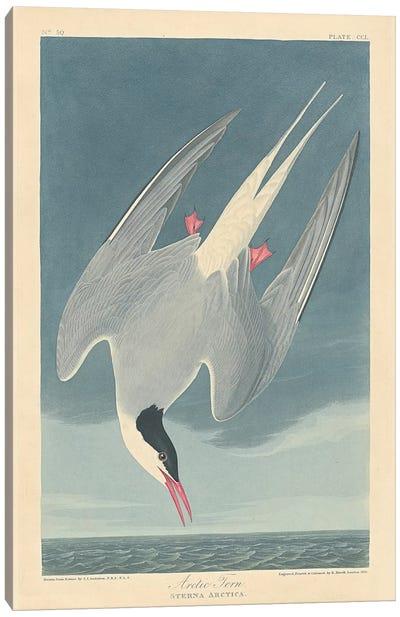 Arctic Tern Canvas Art Print