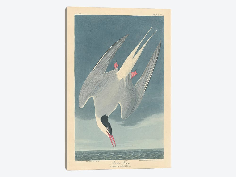 Arctic Tern by John James Audubon 1-piece Canvas Print