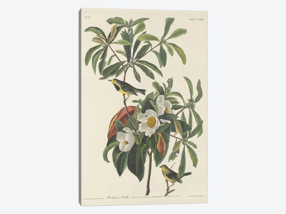 Bachman's Warbler & Franklinia by John James Audubon 1-piece Canvas Wall Art