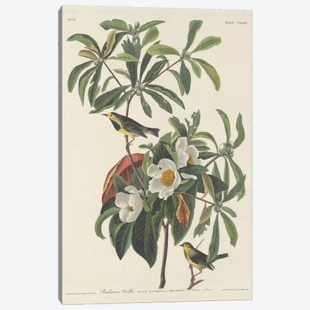 Bachman's Warbler & Franklinia Canvas Print #BMN6713} by John James Audubon Art Print