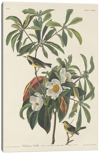 Bachman's Warbler & Franklinia Canvas Art Print