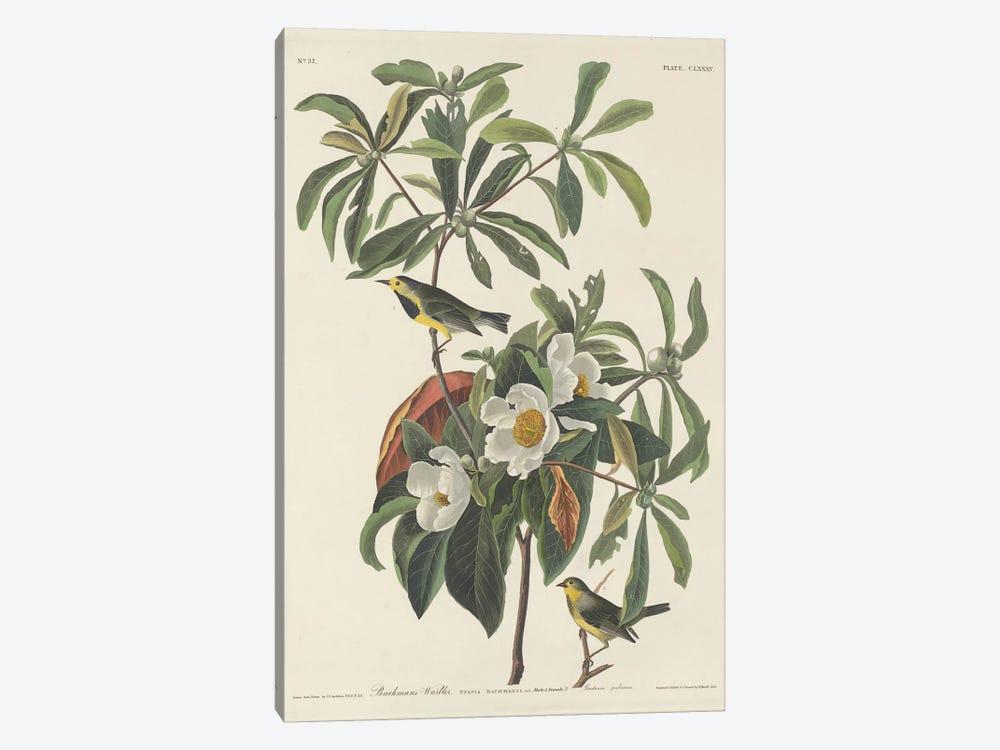 Bachman's Warbler & Franklinia by John James Audubon 1-piece Canvas Wall Art