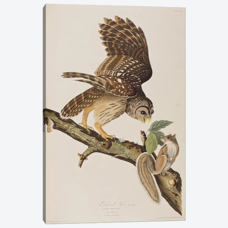 Barred Owl & Grey Squirrel Canvas Print #BMN6714} by John James Audubon Canvas Wall Art