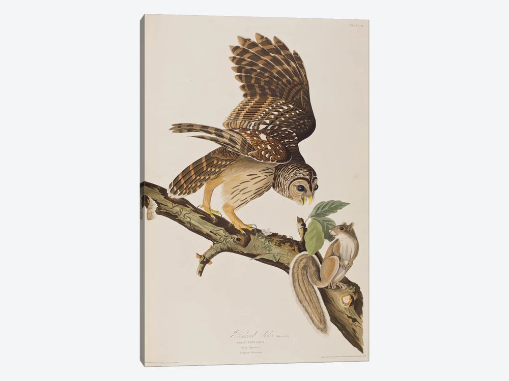 Barred Owl & Grey Squirrel by John James Audubon 1-piece Art Print