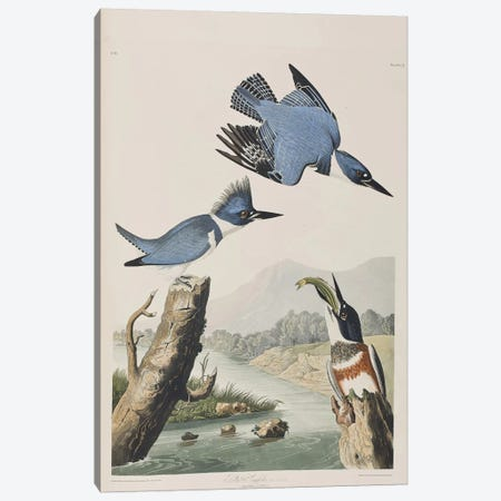 Belted Kingfisher Canvas Print #BMN6715} by John James Audubon Canvas Art