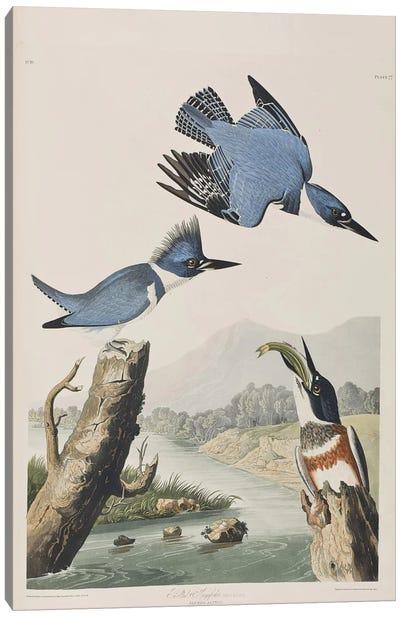 Audubon's Birds Of America Series: Belted Kingfisher Canvas Print #BMN6715