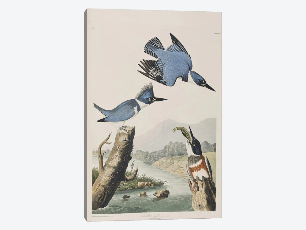 Belted Kingfisher by John James Audubon 1-piece Canvas Art
