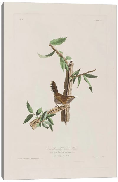 Audubon's Birds Of America Series: Bewick's Long-Tailed Wren & Iron Weed Canvas Print #BMN6716