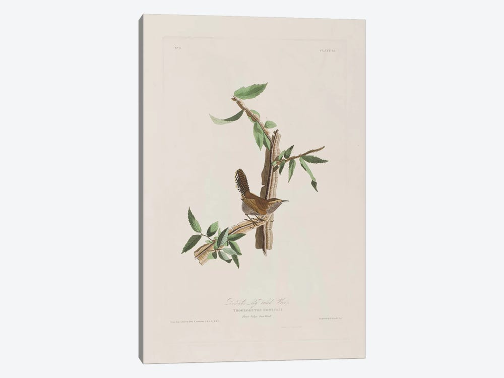Bewick's Long-Tailed Wren & Iron Weed by John James Audubon 1-piece Canvas Art Print