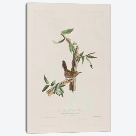 Bewick's Long-Tailed Wren & Iron Weed Canvas Print #BMN6716} by John James Audubon Canvas Art