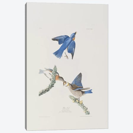 Blue-bird & Great Mullein Canvas Print #BMN6717} by John James Audubon Canvas Wall Art