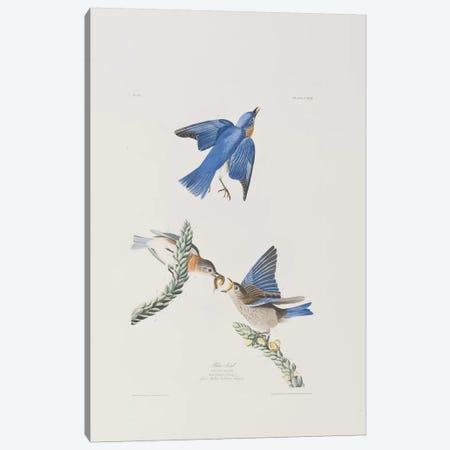 Blue-bird & Great Mullein Canvas Print #BMN6717} by John James Audubon Canvas Wall Art