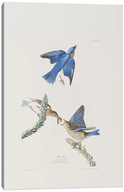 Blue-bird & Great Mullein Canvas Art Print