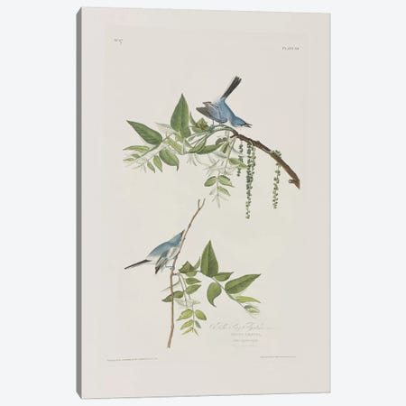 Blue-Grey Flycatcher & Black Walnut Canvas Print #BMN6718} by John James Audubon Art Print