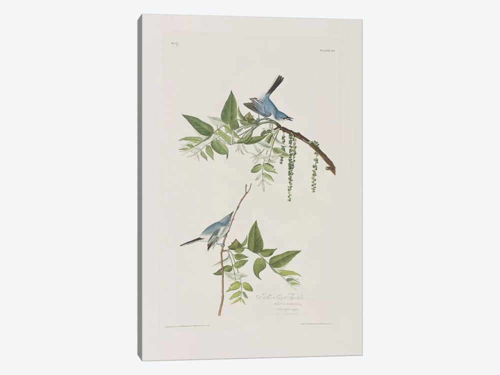 Blue-Grey Flycatcher & Black Walnut by John James Audubon 1-piece Art Print
