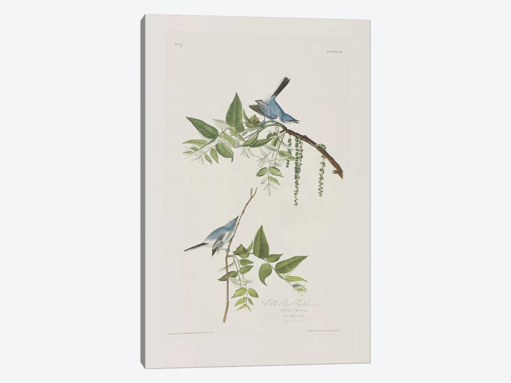 Blue-Grey Flycatcher & Black Walnut by John James Audubon 1-piece Art Print