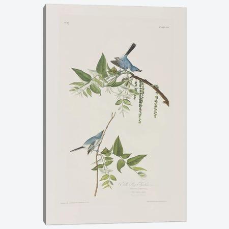 Blue-Grey Flycatcher & Black Walnut Canvas Print #BMN6718} by John James Audubon Art Print