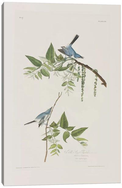 Blue-Grey Flycatcher & Black Walnut Canvas Art Print