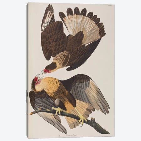 Brasilian Caracara Eagle Canvas Print #BMN6719} by John James Audubon Canvas Print