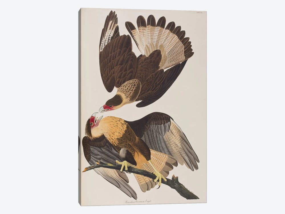 Brasilian Caracara Eagle by John James Audubon 1-piece Canvas Art