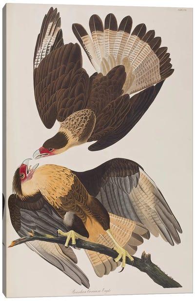 Brasilian Caracara Eagle Canvas Art Print