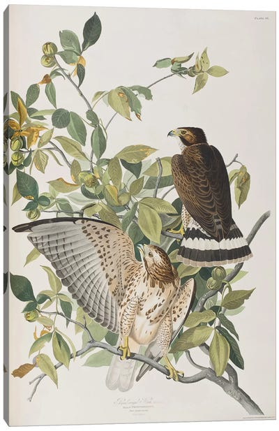 Broad-Winged Hawk & Pignut Canvas Art Print