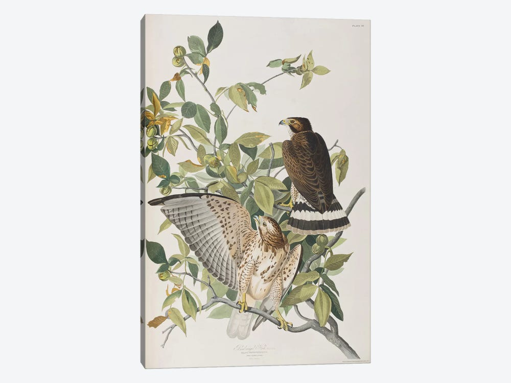 Broad-Winged Hawk & Pignut by John James Audubon 1-piece Canvas Wall Art