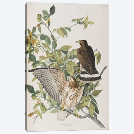 Broad-Winged Hawk & Pignut Canvas Print #BMN6720} by John James Audubon Canvas Artwork