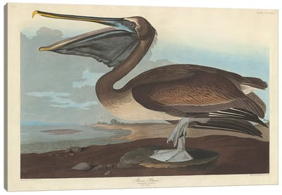 Audubon's Birds Of America Series: Brown Pelican Canvas Print #BMN6721