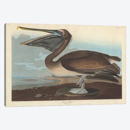 Brown Pelican Canvas Print #BMN6721} by John James Audubon Canvas Art